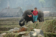Water Buffalo - Sapa