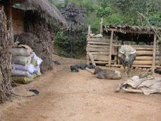 buffalo in ban pho village