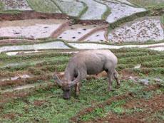 buffalos in village