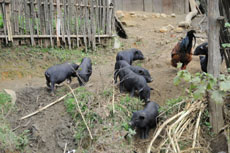 pigs in sin chai