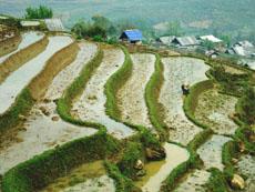 rice field in ban pho village sapa
