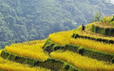 rice field ha giang